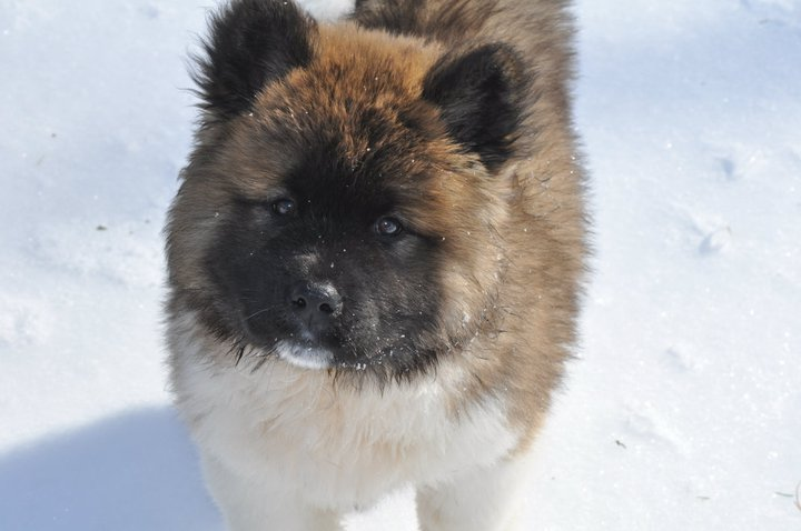 Rakki-Inu Akita Rescue, Virginia Beach, VA